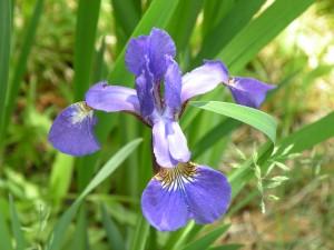 Blue Iris, taken June 8th, 2009
